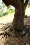 Chêne vert fer à cheval 04 © ҮĦnicК
