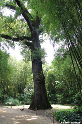 Chene-pédonculé-bambouseraie-anduze1