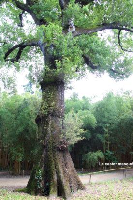 Chene-pédonculé-bambouseraie-anduze2