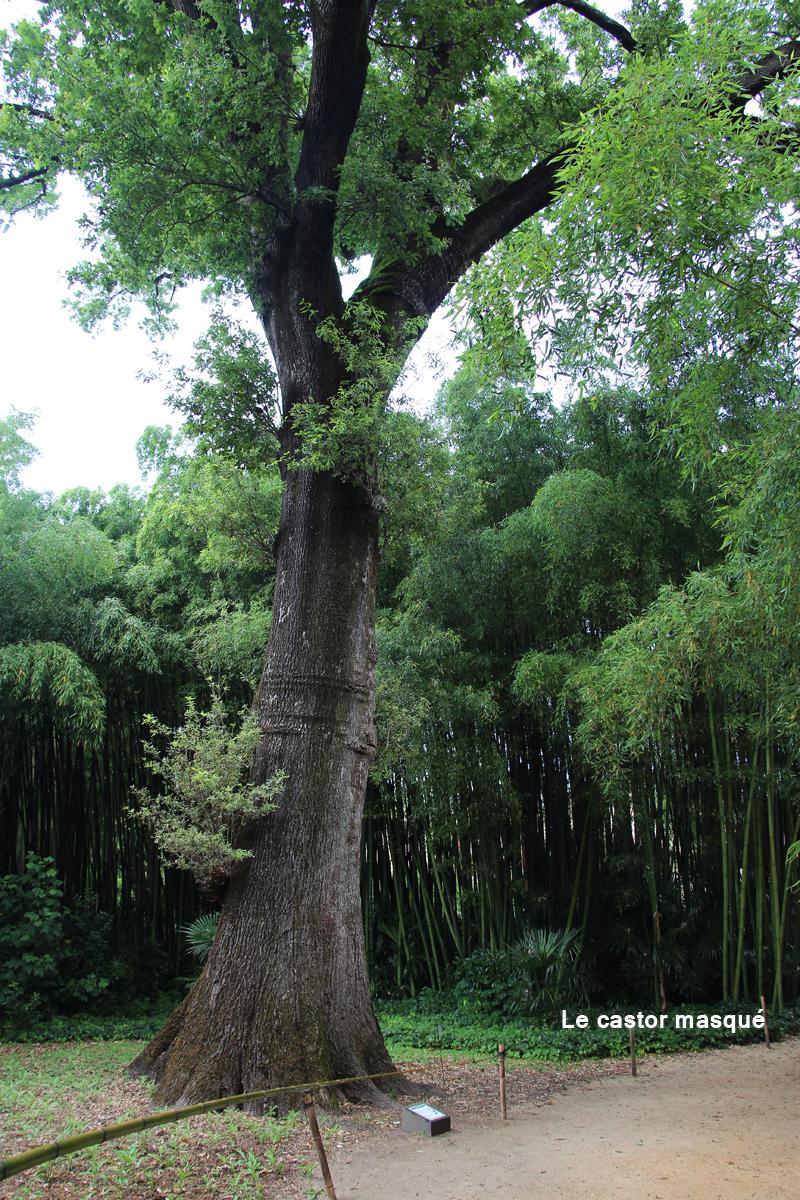 Chene-pédonculé-bambouseraie-anduze4