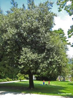 Chene-vert-jardin-plantes01