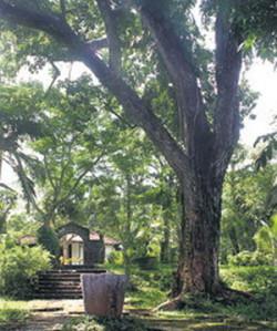 Cuba - Mahogany Tree