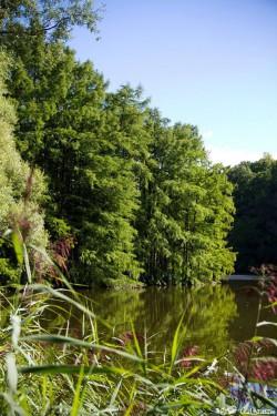 Cyprès chauves, étang de Boulieu, Saint Baudille Isère, Agnès Guillaume (3)