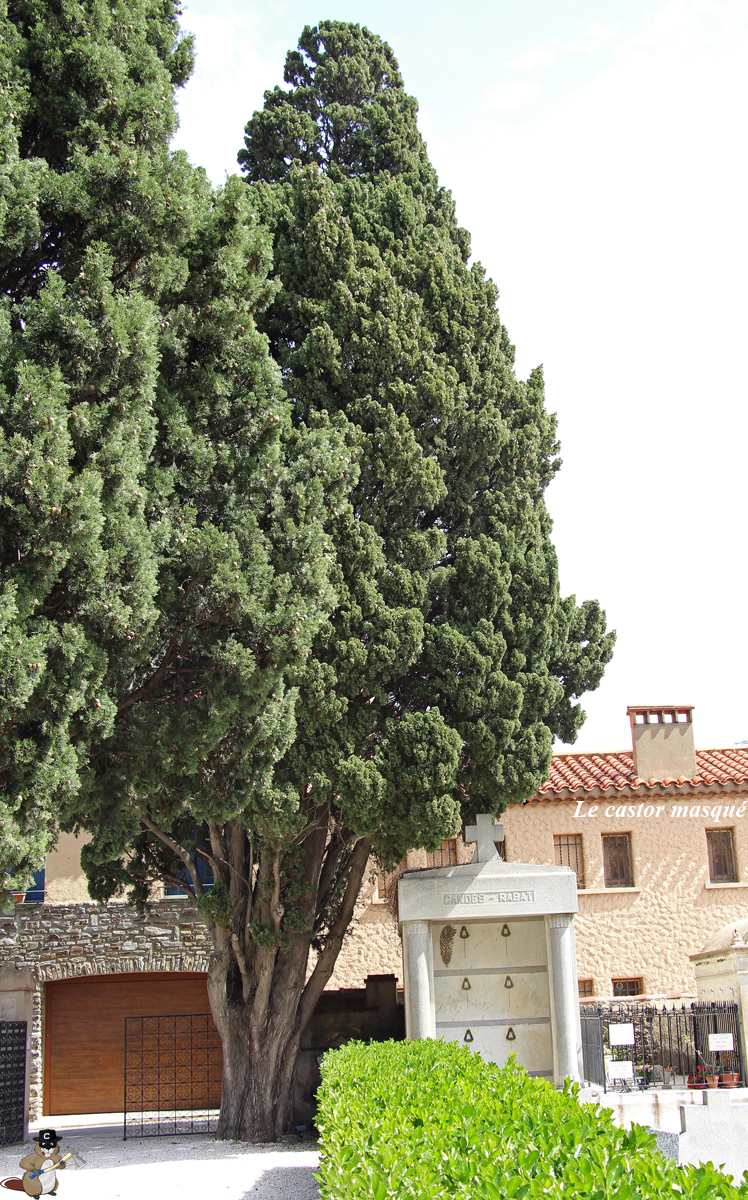 Cyprès-provence-collioure1