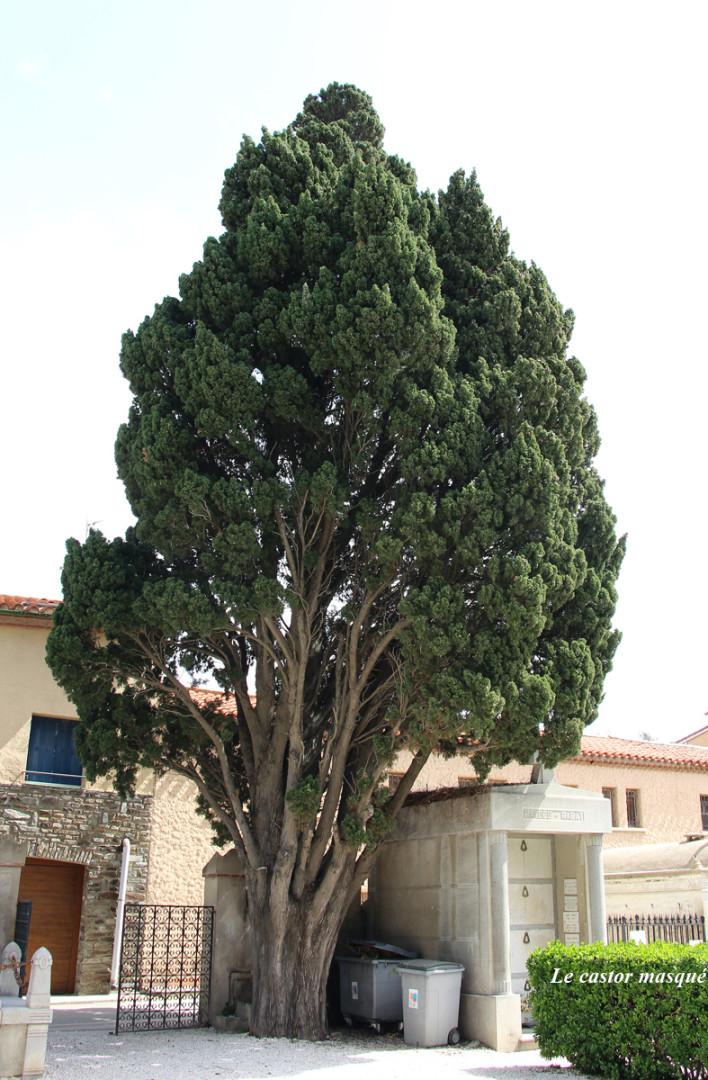 Cyprès-provence-collioure2