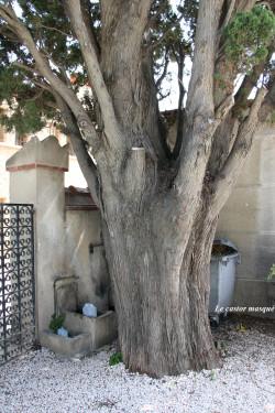 Cyprès-provence-collioure4