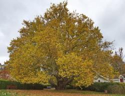 platanus x acerifolia cir a 0.50 cm 15 m