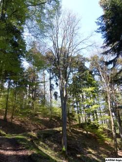 Erable sycomore  bois de l'Elendswald, Régis André