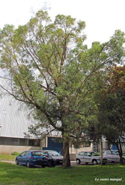 Eucalyptus-gunnii-domaine-universitaire1