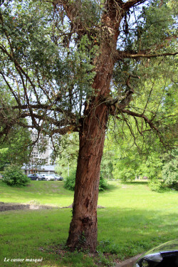 Eucalyptus-gunnii-domaine-universitaire3