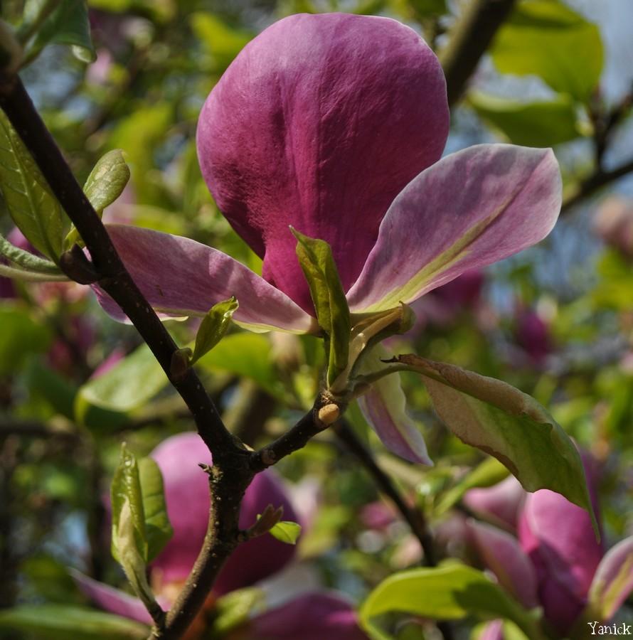 Fleur de Magnolia - Petit chêne 02 ©Yanick