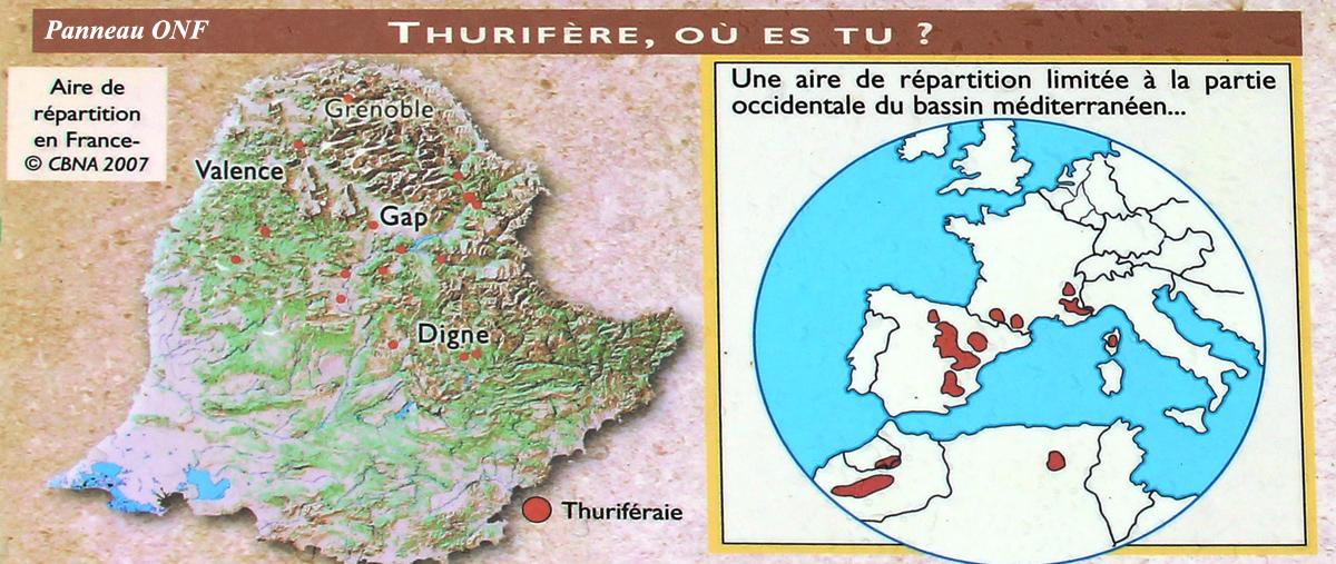 genevrier-thurifere-st-crepin04