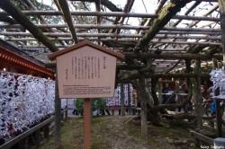Glycine de Nara, Japon, Rémy Canvesio (1)