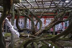 Glycine de Nara, Japon, Rémy Canvesio (2)