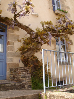 Glycine de Rochefort en Terre, Morbihan Sandra Leparoux (1)
