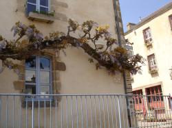 Glycine de Rochefort en Terre, Morbihan Sandra Leparoux (2)