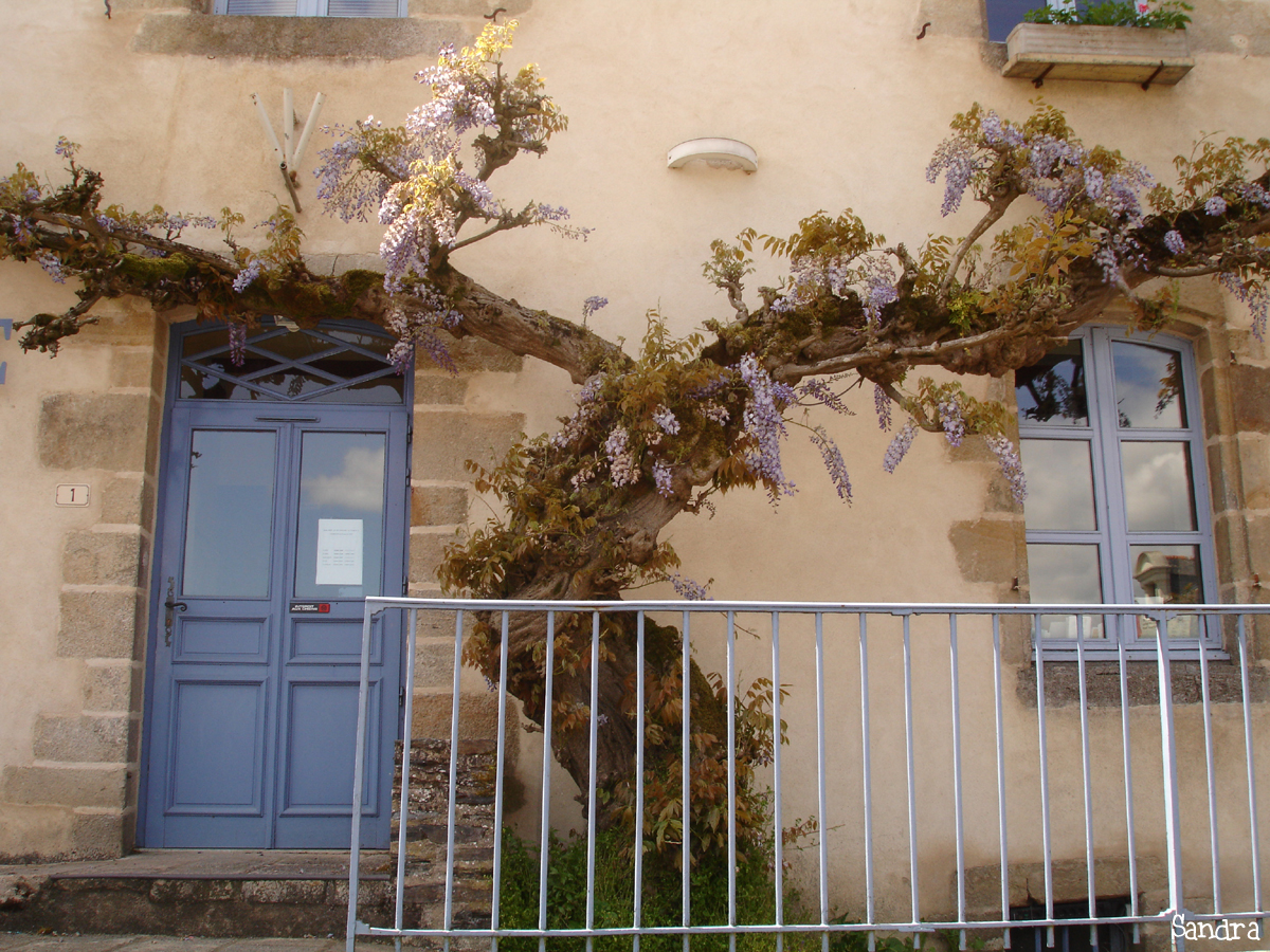 Glycine de Rochefort en Terre, Morbihan Sandra Leparoux