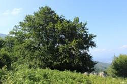 Hêtre de Tatarella, Venaco, Haute Corse, Yannick Morhan (28)