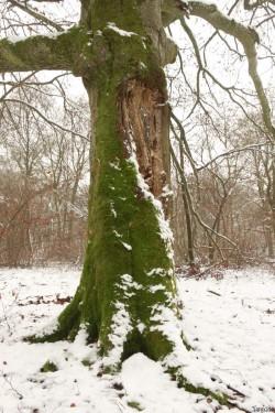 Hêtre rescapé Forêt de Verdun, Meuse, Yannick Morhan (11)