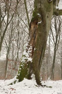 Hêtre rescapé Forêt de Verdun, Meuse, Yannick Morhan (4)