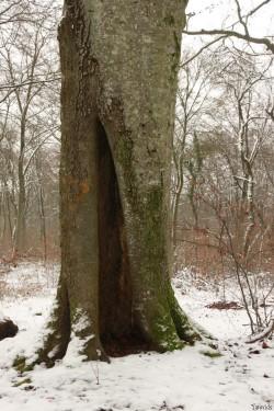 Hêtre rescapé Forêt de Verdun, Meuse, Yannick Morhan (5)