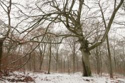 Hêtre rescapé Forêt de Verdun, Meuse, Yannick Morhan (7)