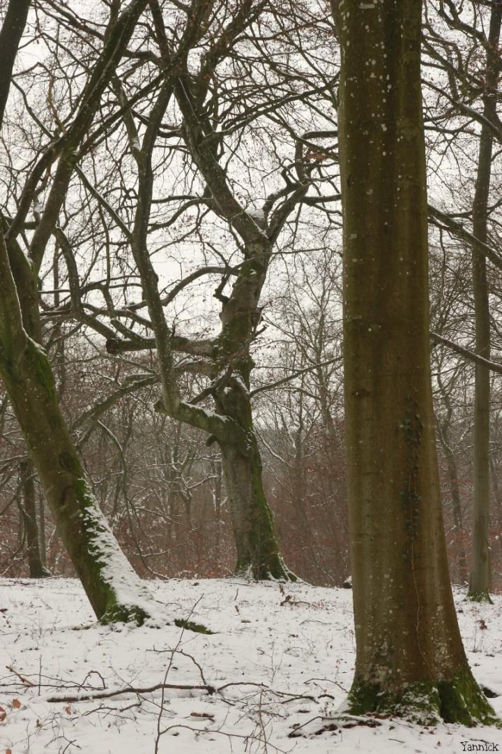 Hêtre rescapé Forêt de Verdun, Meuse, Yannick Morhan (9)