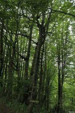Hêtres de Larrau, Pyrénées Atlantiques Yannick Morhan (16)