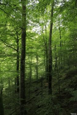 Hêtres de Larrau, Pyrénées Atlantiques Yannick Morhan (6)