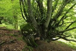 Hêtres de Larrau, Pyrénées Atlantiques Yannick Morhan (9)
