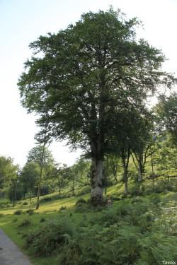 Hêtres du col d'Hosta, Lecumberry Pyrénées Atlantiques, Yannick Morhan (4)
