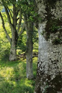 Hêtres du col d'Hosta, Lecumberry Pyrénées Atlantiques, Yannick Morhan (5)