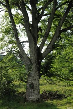 Hêtres du col d'Hosta, Lecumberry Pyrénées Atlantiques, Yannick Morhan (8)