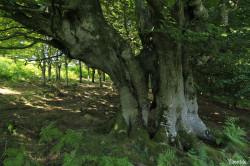 Hêtres et chênes dun mont Ibanteli Sare Yannick Morhan (14) copie
