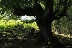 Hêtres et chênes dun mont Ibanteli Sare Yannick Morhan (16) copie