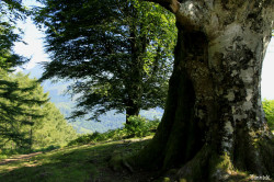 Hêtres et chênes dun mont Ibanteli Sare Yannick Morhan (18) copie