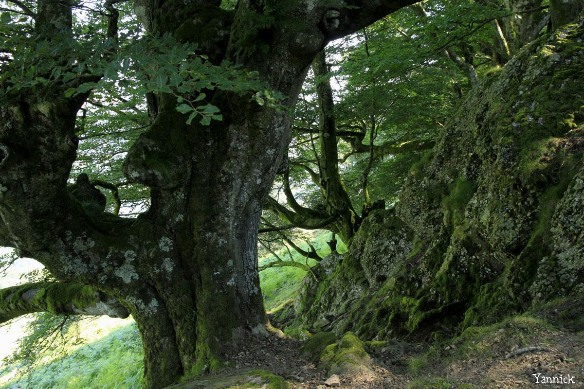 Hêtres et chênes dun mont Ibanteli Sare Yannick Morhan (19) copie
