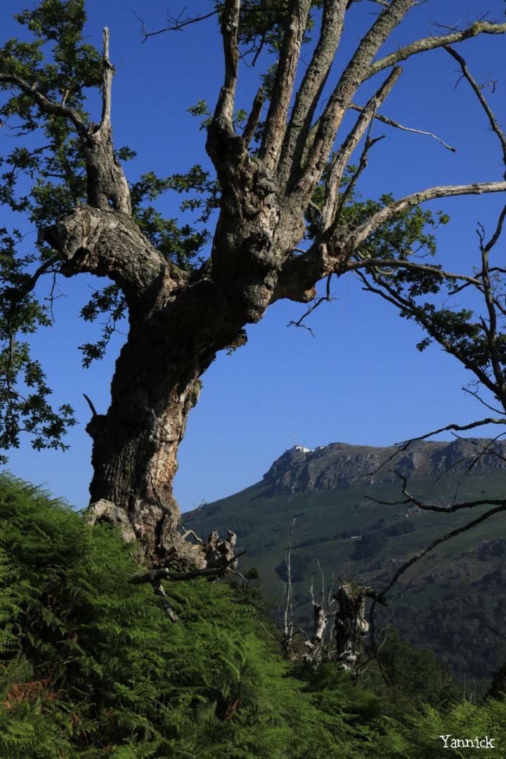 Hêtres et chênes dun mont Ibanteli Sare Yannick Morhan (5) copie