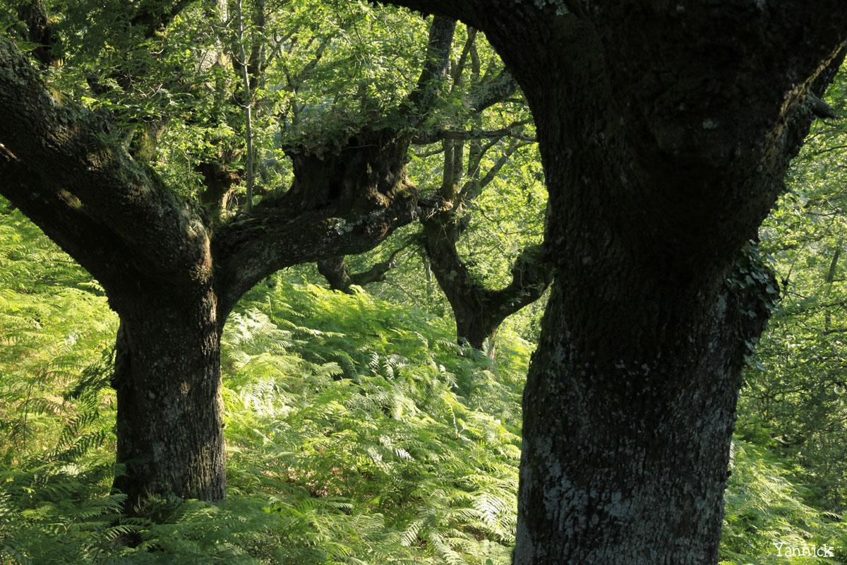Hêtres et chênes dun mont Ibanteli Sare Yannick Morhan copie