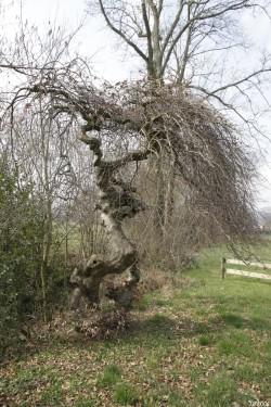 Hêtres tortillards d'Augny, Moselle Yannick Morhan (5)
