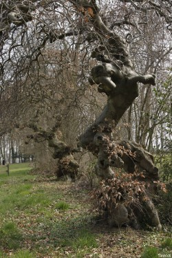 Hêtres tortillards d'Augny, Moselle Yannick Morhan (6)
