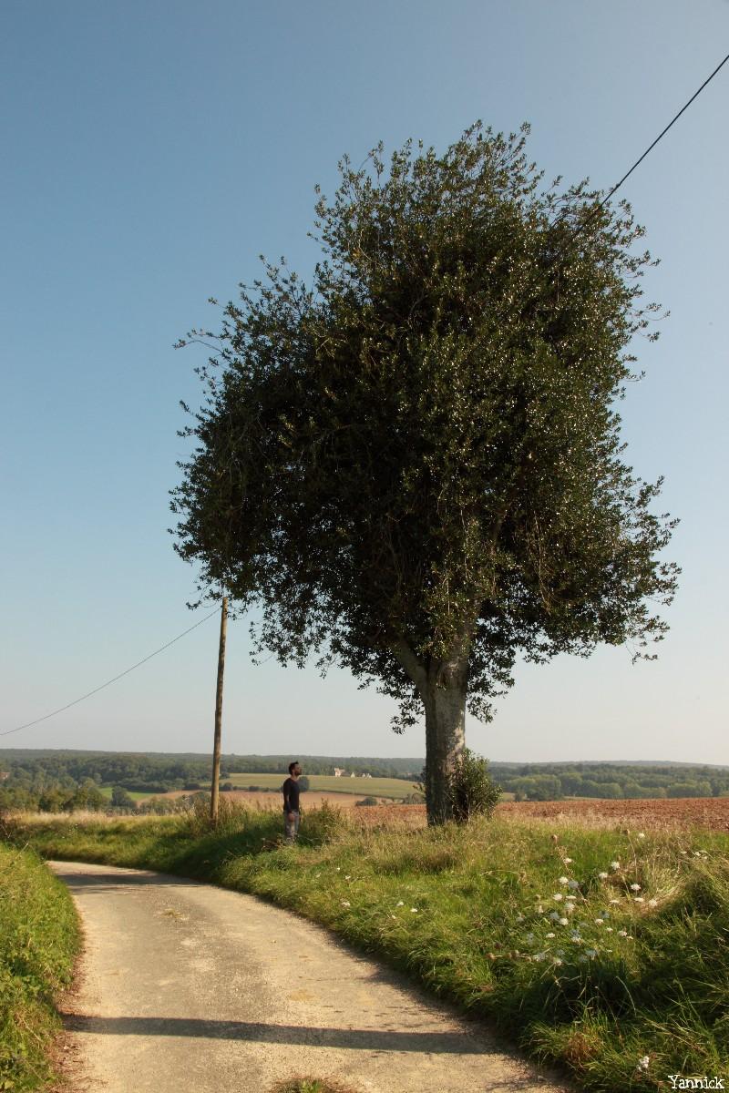 Houx de l a pinardière, Vaunoise, Orne, Yannick Morhan (1)