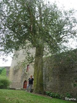 Houx du château de Lassay-les-Château, Mayenne Etienne (3)