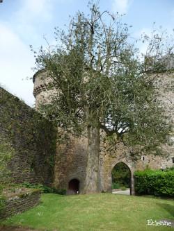 Houx du château de Lassay-les-Château, Mayenne Etienne (5)