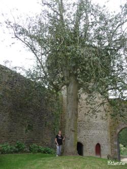 Houx du château de Lassay-les-Château, Mayenne Etienne (7)