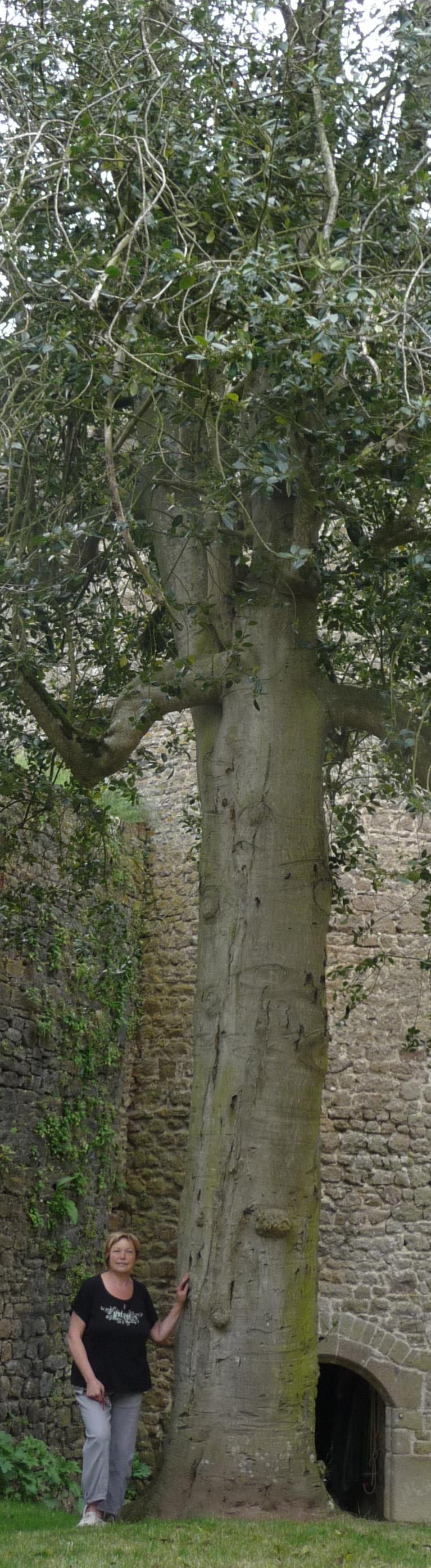 Houx du château de Lassay-les-Château, Mayenne Etienne