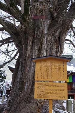 Le Gingko géant de Takayama, Japon, Rémy  Canavesio (3)