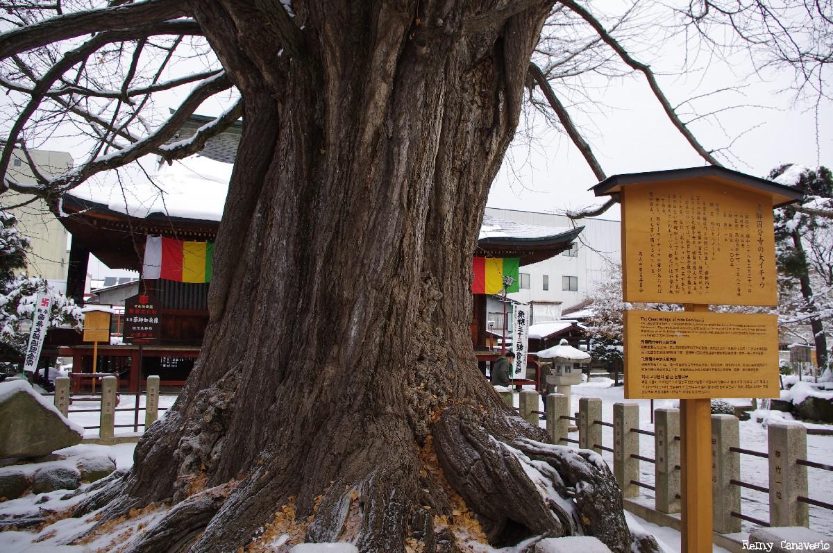 Le Gingko géant de Takayama, Japon, Rémy  Canavesio (4)