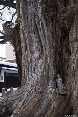 Le Gingko géant de Takayama, Japon, Rémy  Canavesio (5)