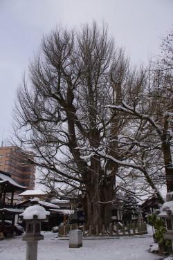 Le Gingko géant de Takayama, Japon, Rémy  Canavesio (7)